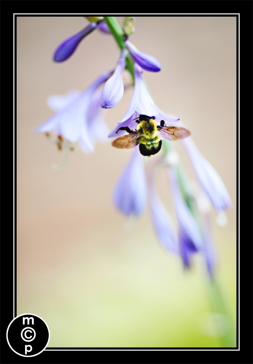 picture of a bumble bee