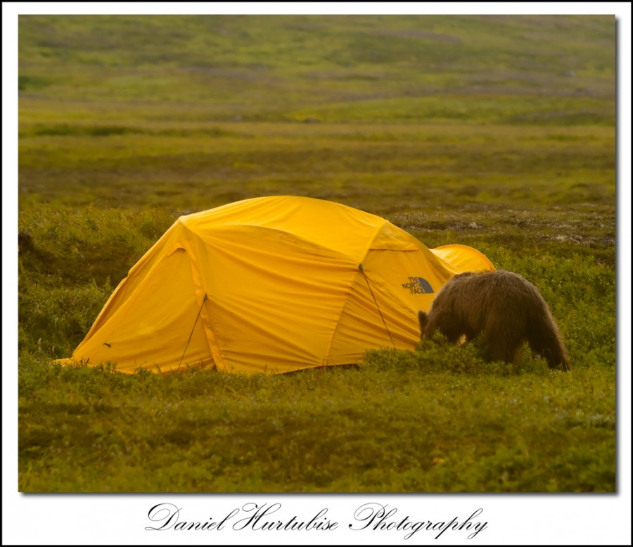 dhb 0786 900x777 Interview with Daniel Hurtubise about his trip to photograph bears in the Alaskan Wild
