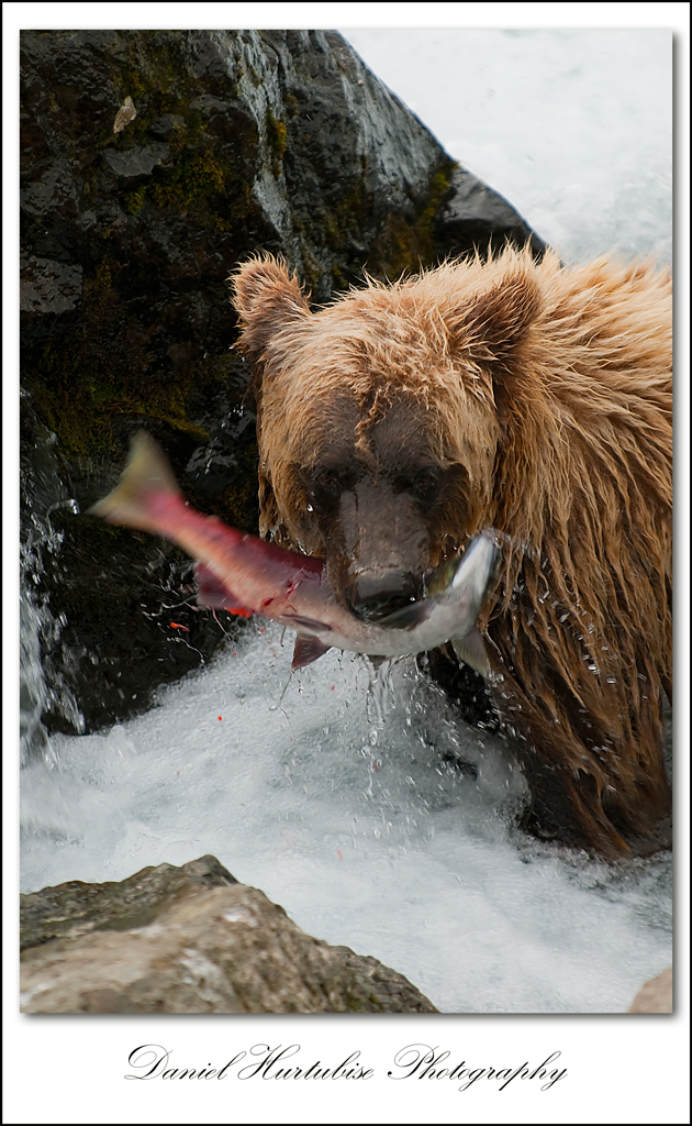 dhb 8741 Interview with Daniel Hurtubise about his trip to photograph bears in the Alaskan Wild
