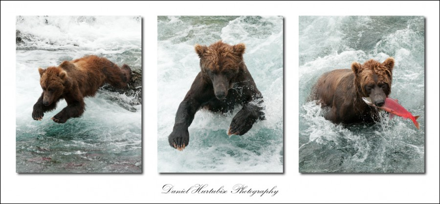 fisherbear 900x417 Interview with Daniel Hurtubise about his trip to photograph bears in the Alaskan Wild