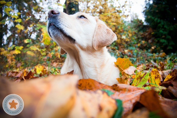 Dog looking up at owner while buried in a pile of leaves
