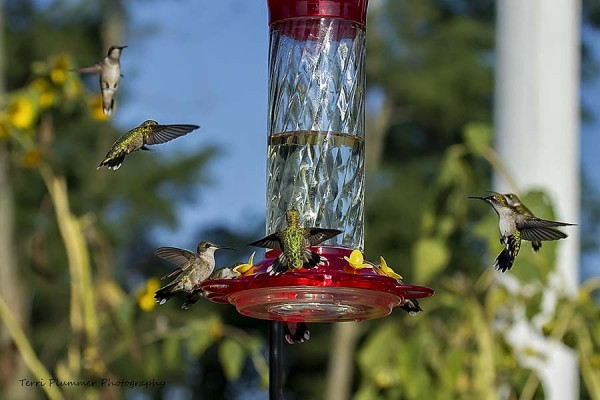 079 birds mcp 600x400 A Guide to Photographing Hummingbirds