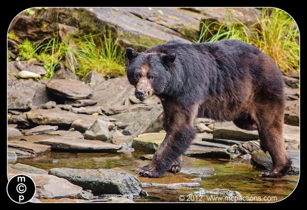 black bears in alaska 39 PS oneclick 600x410 Get the Best Wildlife Shots: 6 Tips for Photographing Animals in the Wild