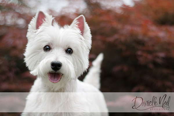 west highland white terrier photography