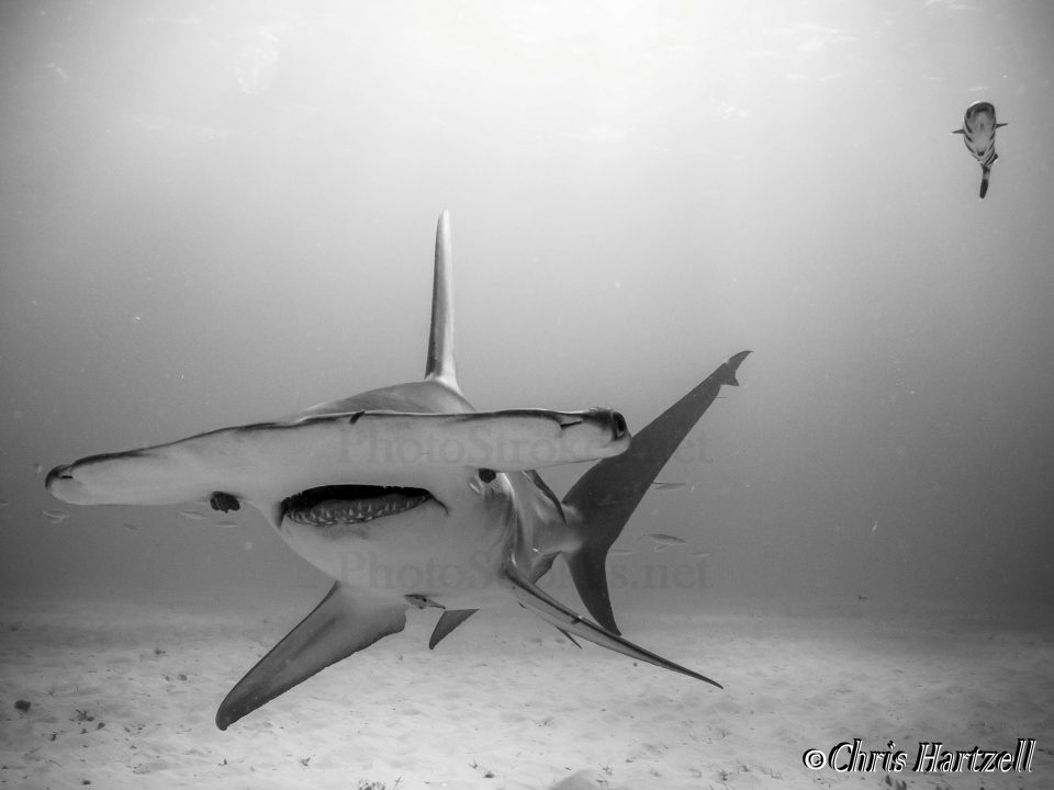 Hammerhead shark - copyright right, watermark over the shark