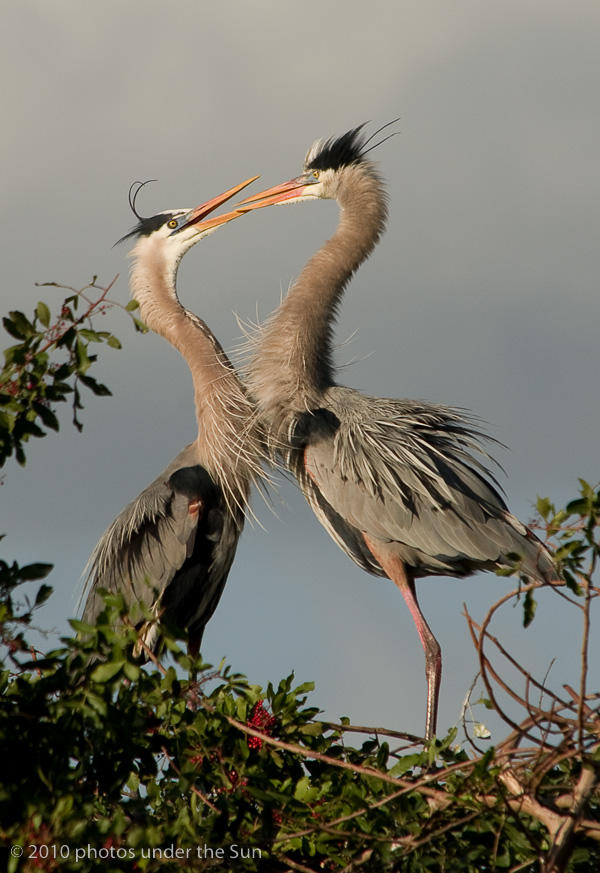 1GreatBlueHerons-1 Wildlife Photography: 9 Tips for Photographing Animals in Nature Guest Bloggers Photography Tips