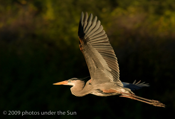 4GreatBlueHeroninflight-1 Wildlife Photography: 9 Tips for Photographing Animals in Nature Guest Bloggers Photography Tips