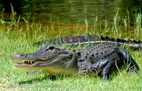 7Alligator-1 Wildlife Photography: 9 Tips for Photographing Animals in Nature Guest Bloggers Photography Tips