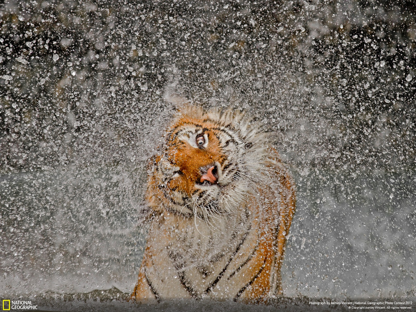 National-Geographic-Grand-Prize-Nature-Winner-Photo Stunning Tigress wins National Geographic Photo Contest 2012 News and Reviews