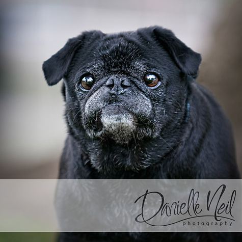 black-pug-portrait 4 Tips For Breaking Into The Pet Photography Niche Business Tips Guest Bloggers Photography Tips