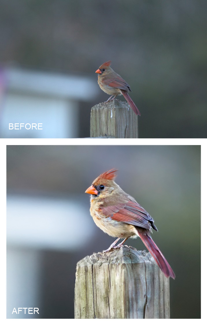 cardinal-edit-copy Get Ready to Edit Your Bird Images Blueprints Photoshop Actions