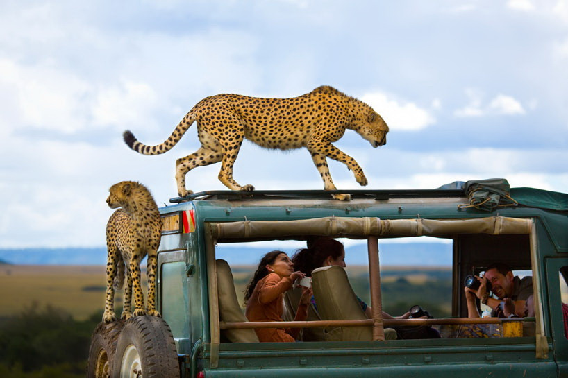 cheetahs National Geographic reveals 2013 Traveler Photo Contest winner News and Reviews