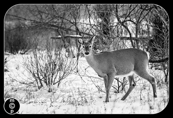 deer-in-the-snow-36-600x4101 What Photoshop Actions To Buy To Edit Wildlife Photography Blueprints Photo Sharing & Inspiration Photography Tips Photoshop Actions Photoshop Tips & Tutorials