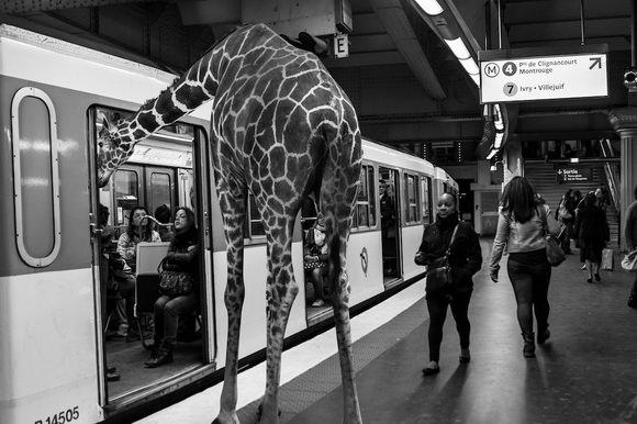 Giraffe taking the metro
