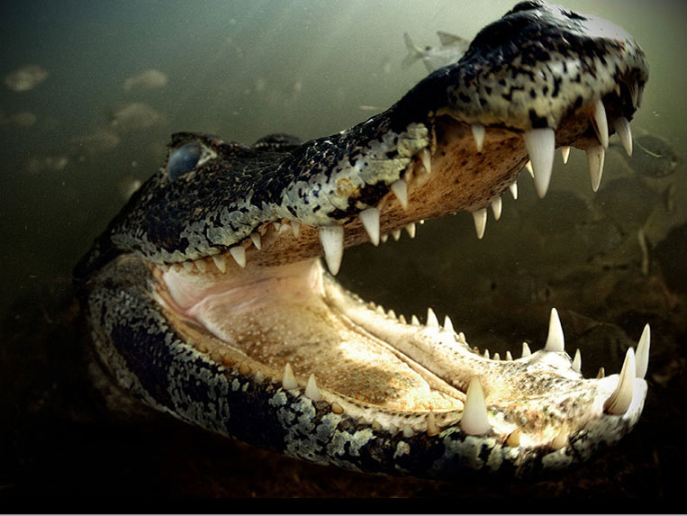 marcelo-krause-caiman Underwater photography equipment used by a professional Exposure