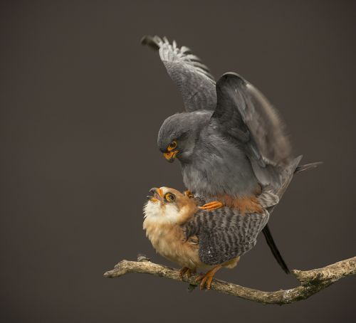 red-footed-falcons Photographer David Morton wins Essence of Nature photo contest News and Reviews