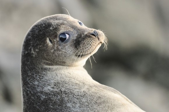 Seal photographed with a Nikon D300