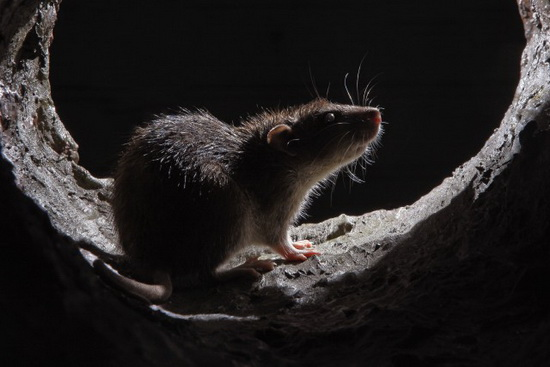 sewer-rat Photographer David Morton wins Essence of Nature photo contest News and Reviews