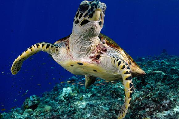 Underwater photo turtle