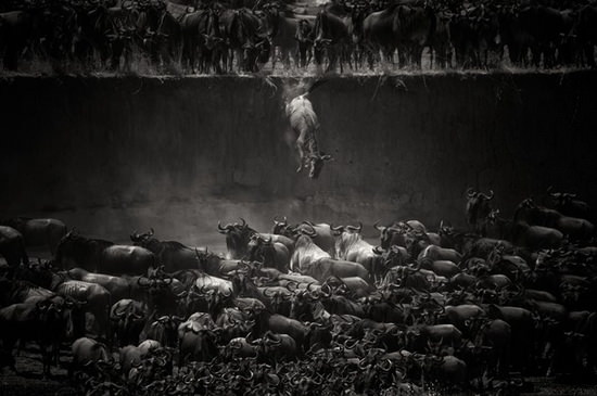 wildebeest-jump-nicole-cambre National Geographic Photo Contest 2014 winners revealed Exposure