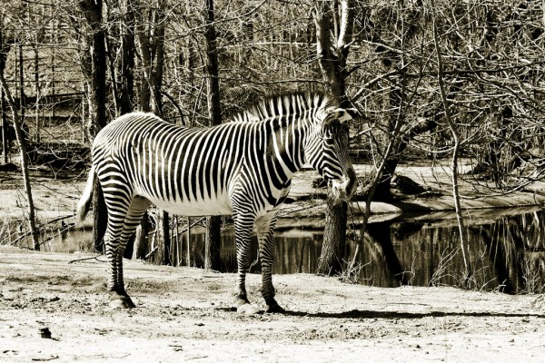 zebra-600x400 MCP Project 52 - Week 15 Wrap Up + Week 16 Theme Activities Assignments Photo Sharing & Inspiration Project 52