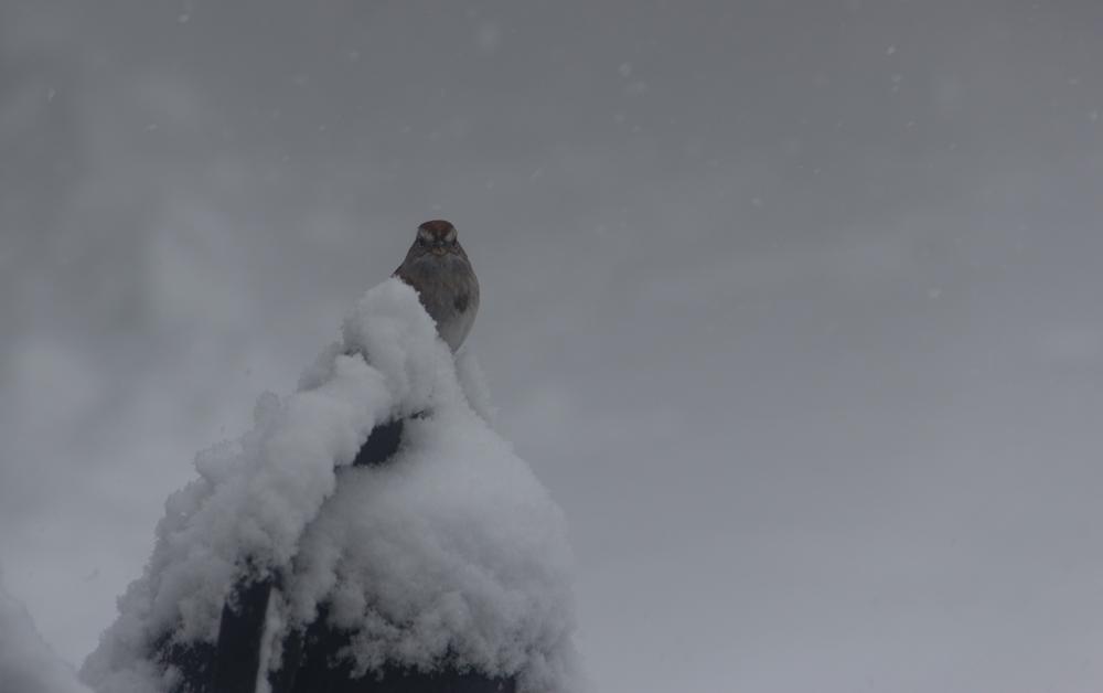 009-2 Inspiring Snowy Tree Sparrow
