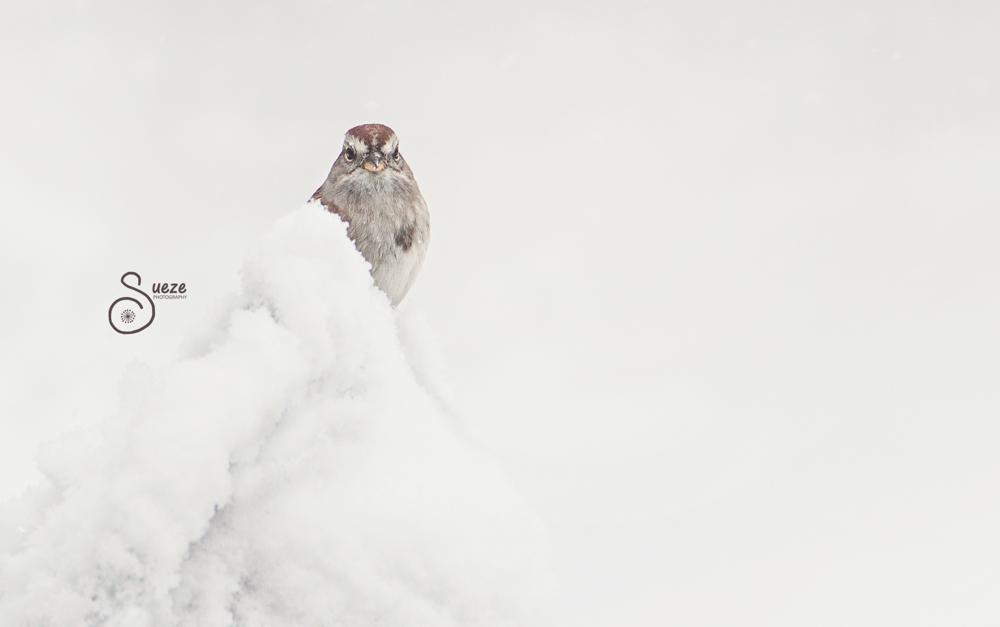 009-474-1 Inspiring Snowy Tree Sparrow