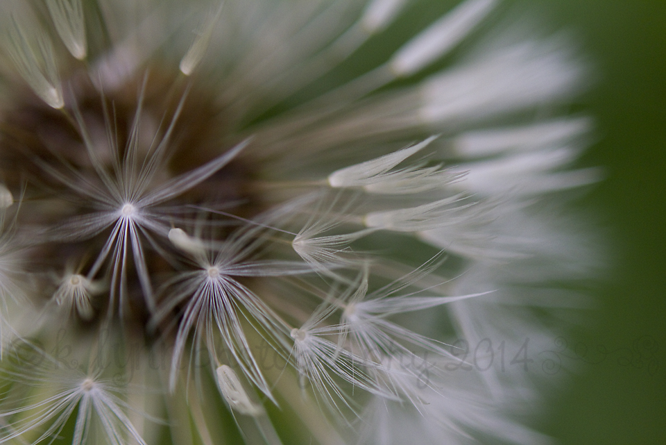 IMG_0619 Dandelion Stars
