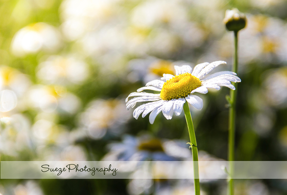 daisy-a-1 Enlighten LR Presets and Four Seasons Actions