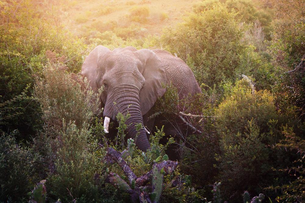 mcp-after Elephant on Safari