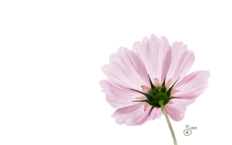 pink-cosmos-mcp-edit-1-of-1 Spring and Summer Actions for Floral Edit
