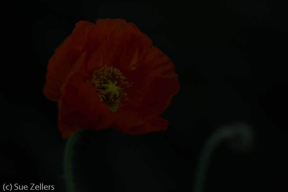poppy-sooc-1 Underexposed Painted Poppy Brightened Up through edits!